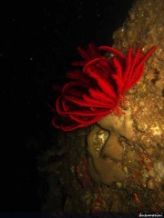 Feather Star Merah